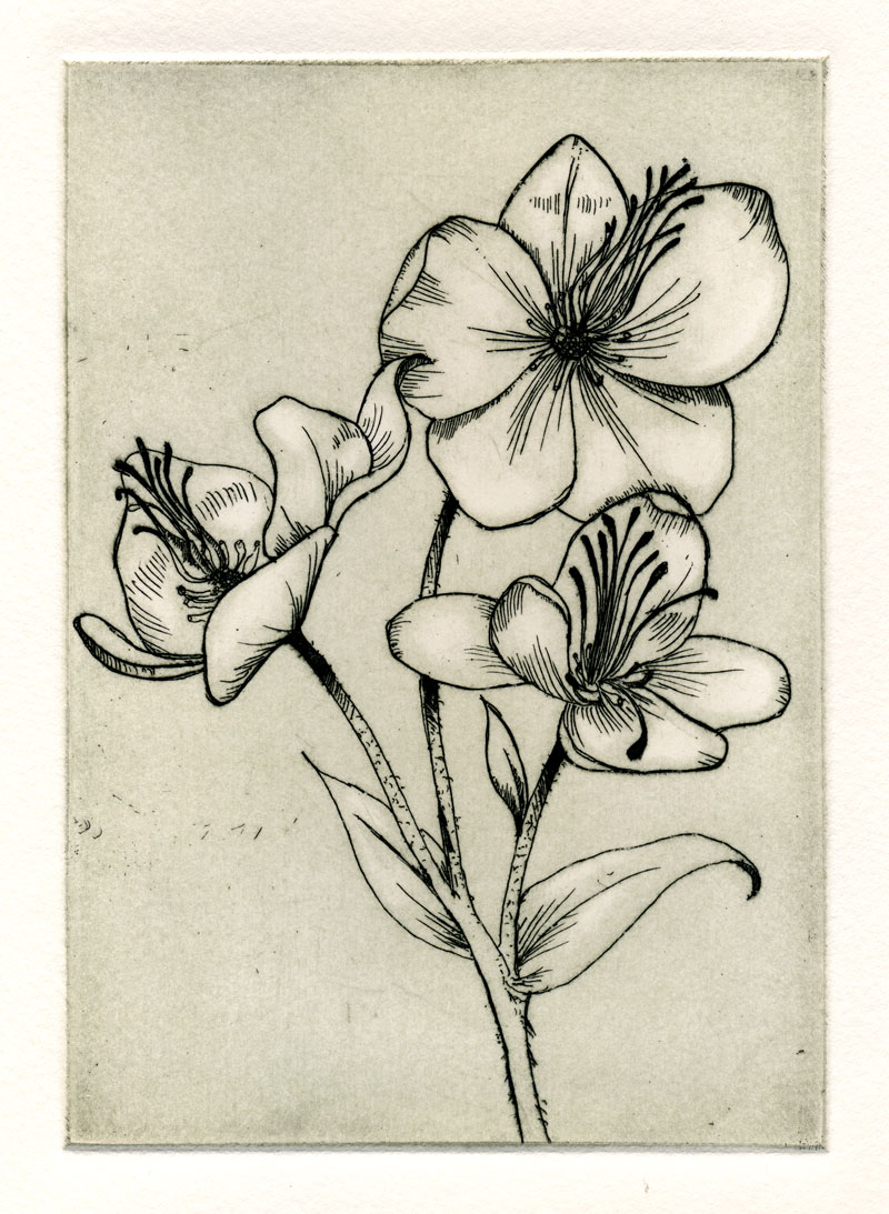 botanical etching of flower